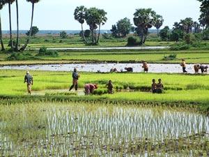 rijstvelden platteland cambodja