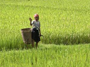vrouw in rijstveld cambodja