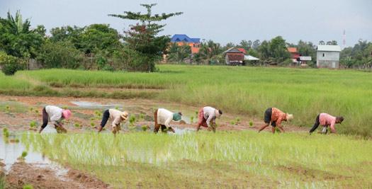 Cambodja reizen - rijstveld werk