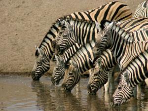 Dorstige zebra's bij het kamp