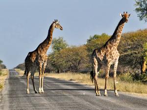 Etosha safari Namibie