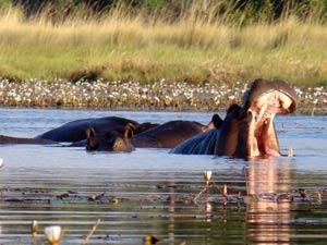 botswana nijlpaard