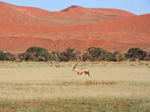 sossusvlei steenbok namibie