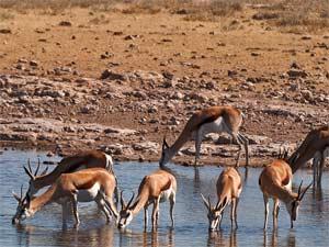 springbok drinken namibie