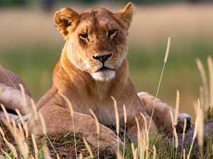 leeuw botwana namibie