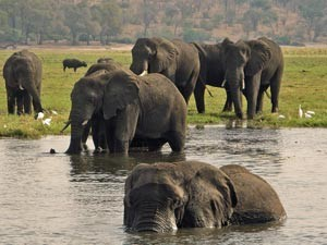 Badderende olifanten in de Cobe rivier