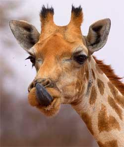 giraf waterberg namibie