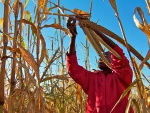 ongula maisplukken namibie