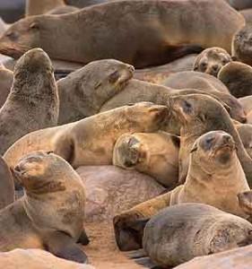 zeehonden namibie