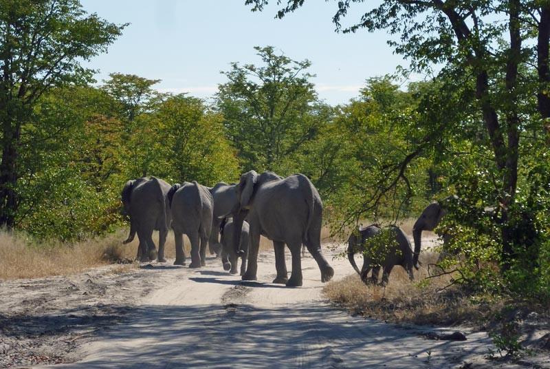 Chobe overstekende olifanten