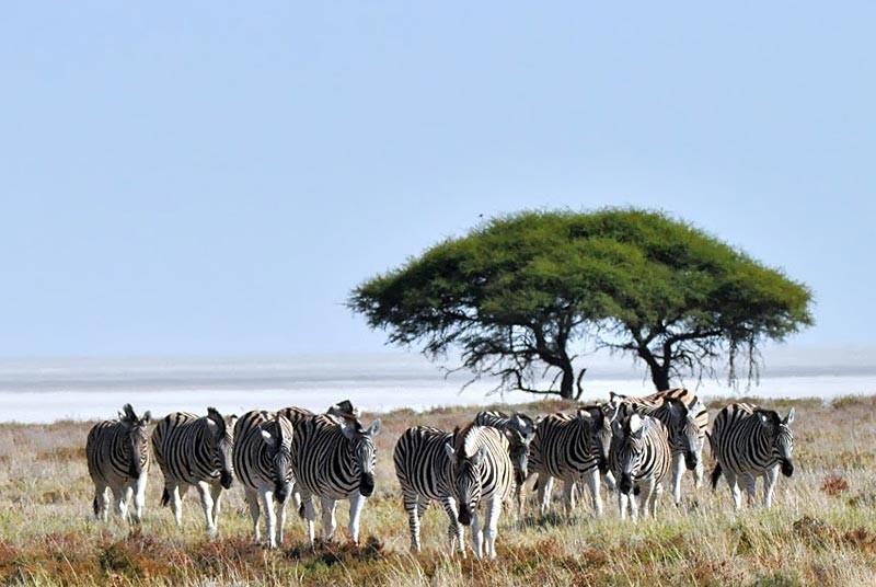 Etosha-zebra's