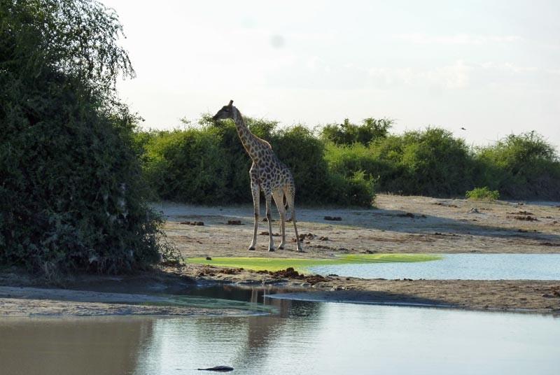 Giraffe Botswana game drive
