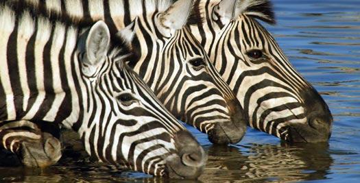 Namibie rondreis - zebra's