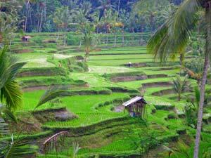 individuele reis rijstvelden