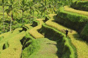 Bali-Ubud rijsveld