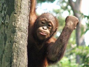 indonesie reis aap