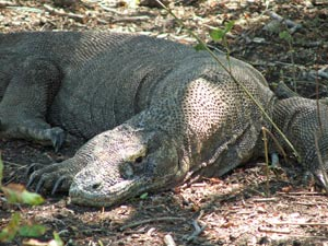 komodo varaan indonesie rondreis