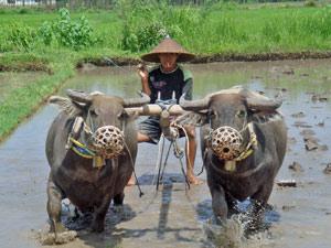 plattelandsleven op lombok indonesie
