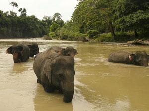 olifanten jungle sumatra indonesie