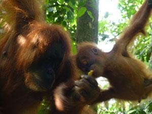 orang oetans op sumatra indonesie