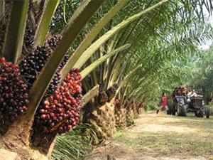 de bron van palmolie indonesie