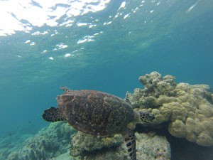 schildpad gili indonesie