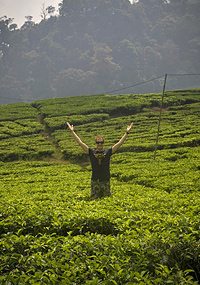 bandung theevelden indonesie