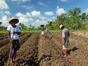werken in rijstvelden rondreis indonesie