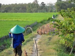 rijstvelden ubud bali java indonesie