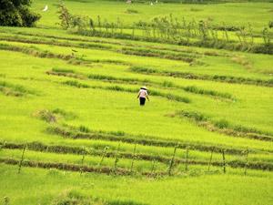rijstvelden sulawesi indonesie
