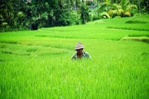 rijstvelden rondreis bali indonesie