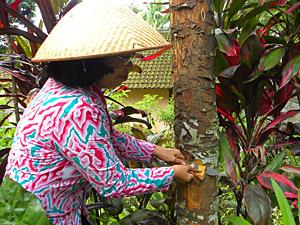 tuin kalibaru java indonesie