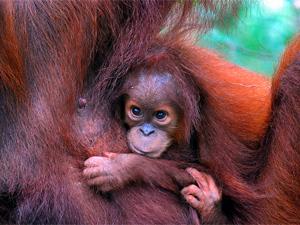 sumatra orangoetan indonesie
