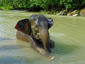 Sumatra-reis Indonesie - Tangkahan olifant