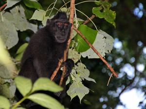 tangkoko zwarte makaak indonesie