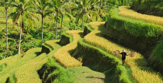 Indonesië vakantie- rijstvelden Bali