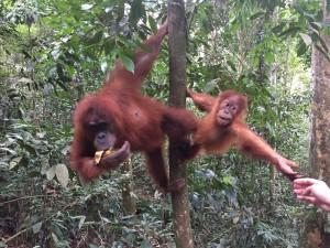 bukitlawang-elske-orangoetan-banaan
