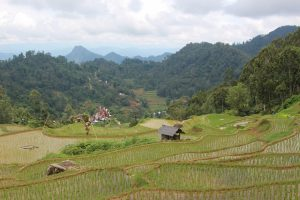 Rice paddies Toraja (2)