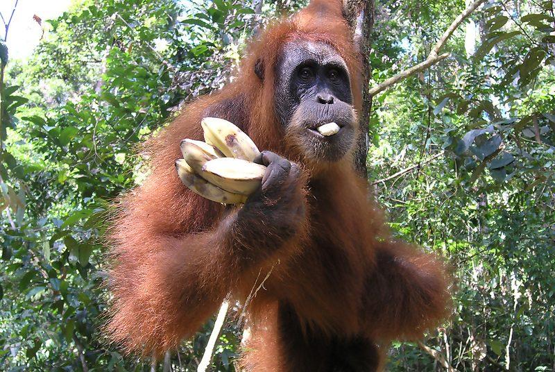 Van apenjungle naar rijstterras op Sumatra en Bali