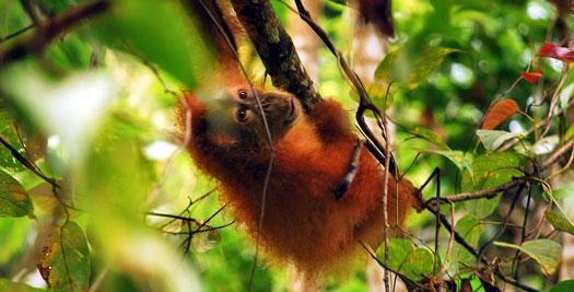 Sumatra-reis - Indonesië