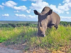Nashorn im Hluhluwe Imfolozi Park