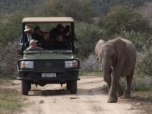Ein Elefant kreuzt den Weg bei der Safari