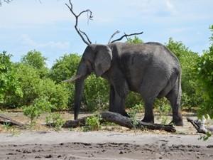 Botswana - Chobe Nationalpark - Elefant im Busch