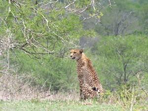 Ein Gepard im Hluhluwe