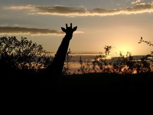 giraffe-beim-sonnenuntergang