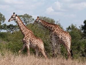 Südafrika - Krüger Nationalpark - zwei Giraffen im Busch