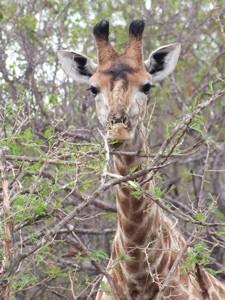 Südafrika - Safari zu Fuß - Giraffe im Busch