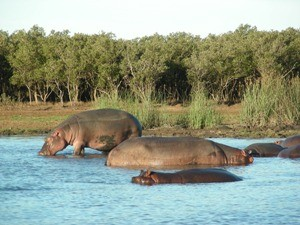 Südafrika - Flusspferde in St. Lucia - Nordosten Südafrika