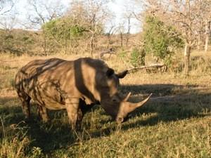 Nashorn im Hluhluwe Park