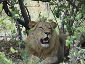 Botswana - Chobe Nationalpark - Löwe im Busch